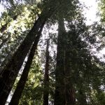 Looking up to the sky through the redwoods